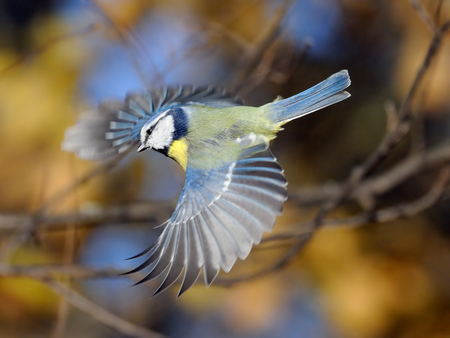 caeruleus: Blue Tit Parus caeruleus flying at autumn background. Moscow region, Russia Stock Photo