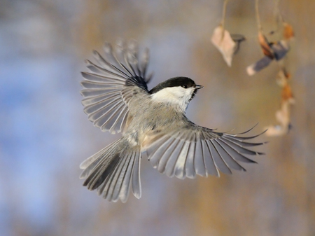 poecile: Flying Willow Tit Poecile montanus, Poecile montana, Parus montanus in winter. Moscow region, Russia