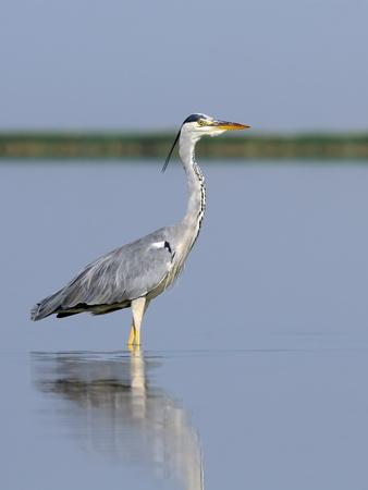 grey heron: Grey Heron Ardea cinerea at Manych lake in Kalmykia, Russia
