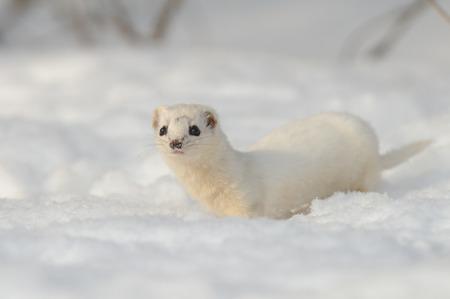 nivalis: Least Weasel Mustela nivalis in winter field. Moscow region, Russia