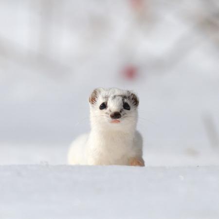 Least Weasel Mustela nivalis changing his fur color in early spring