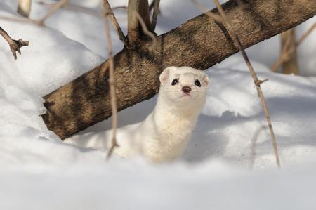 weasel: Winter Least Weasel in the snow hole