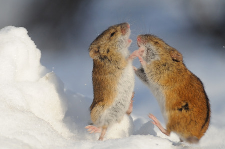 animal fight: Winter fight of two Striped Field Mice Apodemus agrarius in the snow. Moscow park, Russia.