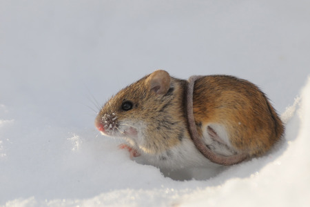 mouse hole: Striped Field Mouse Apodemus agrarius above snow hole  belted with the tail