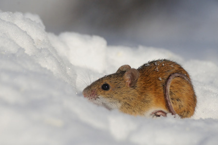 animal park: Striped Field Mouse Apodemus agrarius in sunny winter day in snow