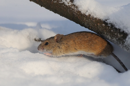 burrow: Striped Field Mouse Apodemus agrarius in sunny winter day jumps from snow burrow