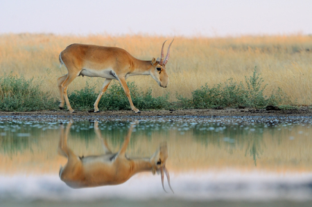 russia steppe: Critically endangered wild Saiga antelope Saiga tatarica near watering in steppe. Federal nature reserve Mekletinskii, Kalmykia, Russia, August, 2015