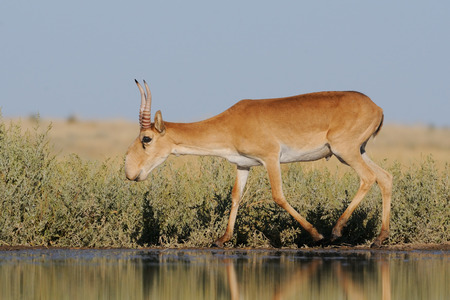 russia steppe: Critically endangered wild Saiga antelope Saiga tatarica near watering in steppe. Federal nature reserve Mekletinskii, Kalmykia, Russia, August, 2015