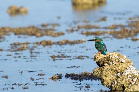 alcedo atthis: Common Kingfisher Alcedo atthis on the beach of Sharm el-Sheikh resort, Egypt Stock Photo