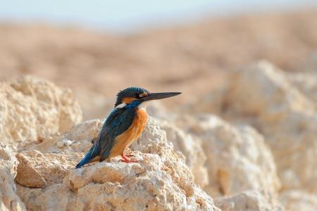 alcedo: Common Kingfisher Alcedo atthis on the beach of Sharm el-Sheikh resort, Egypt Stock Photo