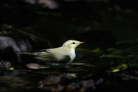 a bathing place: Wood Warbler Phylloscopus sibilatrix came for bathing to calm dark place at forest stream