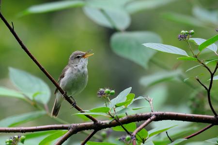 soloist: Singing Blyths reed warbler Acrocephalus dumetorum Stock Photo