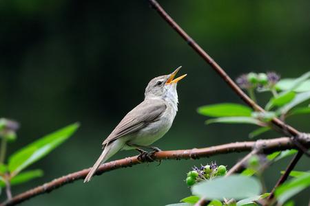 Singing Blyths reed warbler Acrocephalus dumetorum Banco de Imagens
