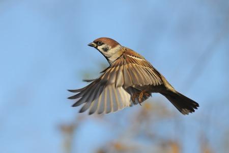 비행 유라시아 트리 참새가 [NULL]에 통행 인 montanus입니다. 모스크바 지역, 러시아