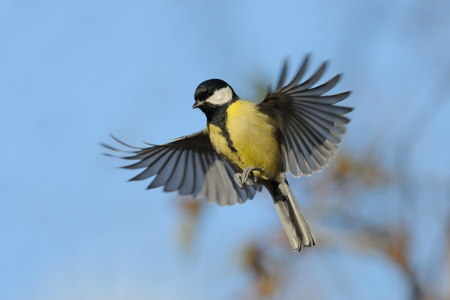 great tit: Flying Great Tit Parus major in autumn. Moscow region, Russia Stock Photo