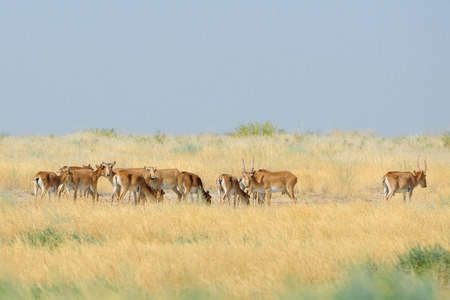russia steppe: Critically endangered wild Saiga antelopes Saiga tatarica in morning steppe. Federal nature reserve Mekletinskii, Kalmykia, Russia, August, 2015