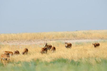 russia steppe: Critically endangered wild Saiga antelopes Saiga tatarica in morning steppe. Federal nature reserve Mekletinskii, Kalmykia, Russia, August, 2015