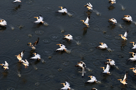 pelecanus onocrotalus: Synchronous flight of White Pelicans Pelecanus onocrotalus over Manych lake, Kalmykia, Russia.