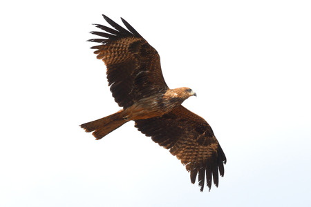 flying a kite: Flying Black Kite Milvus migrans lineatus in Goa, India