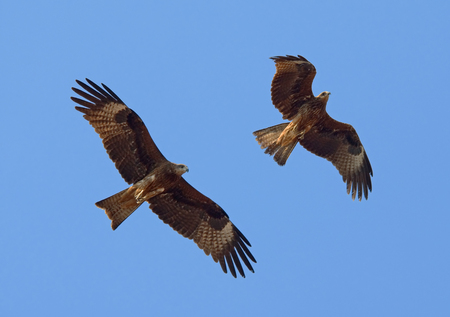 milvus: Two flying Black Kites Milvus migrans lineatus in Goa, India