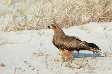 milvus: Black Kite Milvus migrans lineatus on Goa beach, India Stock Photo