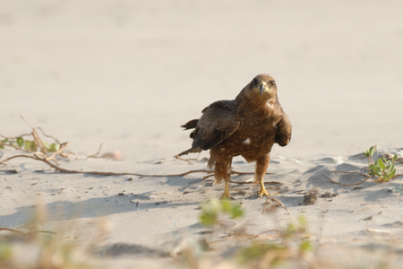 black kite: Black Kite Milvus migrans lineatus on Goa beach, India Stock Photo