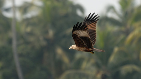 black kite: Flying Black Kite Milvus migrans lineatus in Goa, India