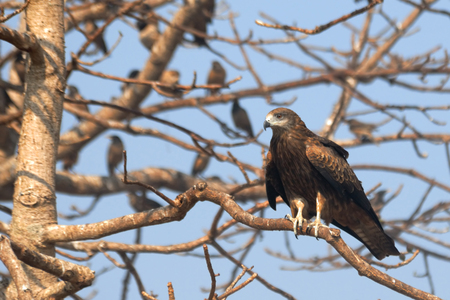milvus: Black Kite Milvus migrans lineatus on the tree with Rosy Starlings in Goa, India Stock Photo