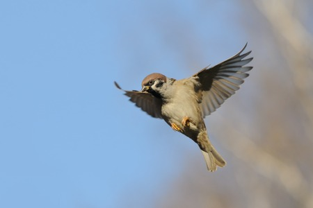 passer by: Flying Eurasian Tree Sparrow Passer montanus in autumn. Moscow region, Russia
