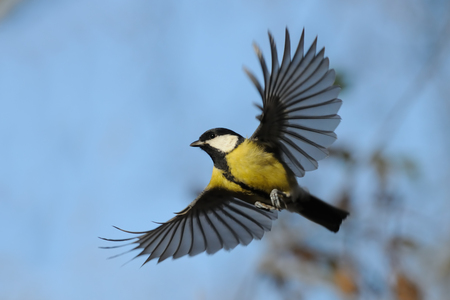 parus major: Flying Great Tit Parus major in autumn. Moscow region, Russia Stock Photo