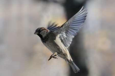 Flying House Sparrow Passer domesticus in autumn. Moscow region, Russia