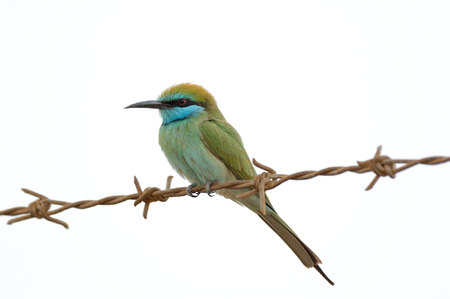 united arab emirate: Little Green Bee-eater Merops orientalis in Sharjah emirate. United Arab Emirates