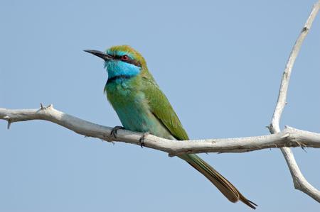 united arab emirate: Little Green Bee-eater Merops orientalis in Dubai emirate. United Arab Emirates