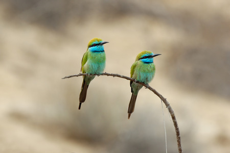 united arab emirate: Little Green Bee-eaters Merops orientalis in Sharjah emirate. United Arab Emirates Stock Photo