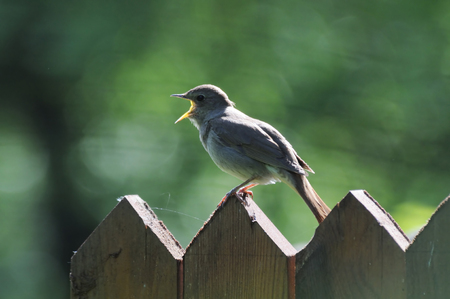 thrush: Loud song appealing for a partner from Thrush nightingale Luscinia luscinia
