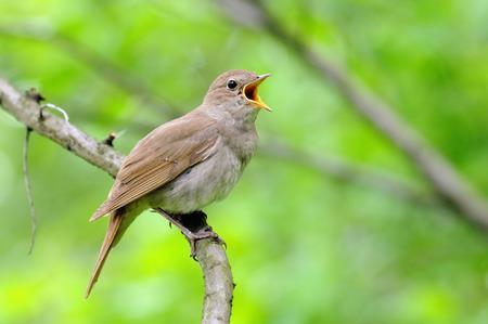 ruiseñor: Cantando Thrush Nightingale Luscinia luscinia contra el fondo verde. Cerca de Moscú, Rusia