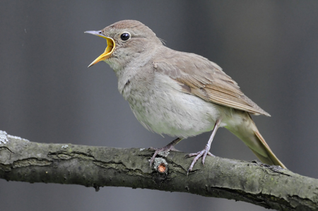 ruise�or: Cantando luscinia Thrush Nightingale Luscinia contra gris background.Nnear Mosc�, Rusia