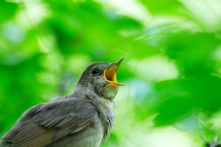 Singing Thrush Nightingale Luscinia luscinia against the green leaves backgound. Near Moscow, Russia Banco de Imagens