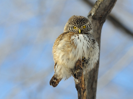 perching: Perching Pygmy Owl Glaucidium passerinum in spring