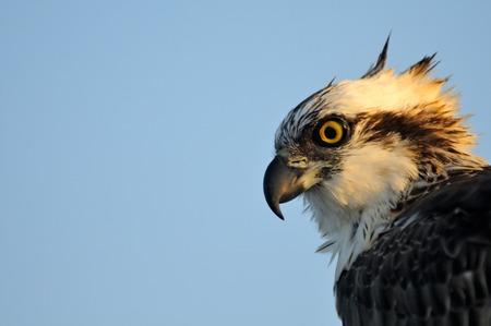 sharm: Osprey Pandion haliaetus in Sharm el-Sheikh, Egypt