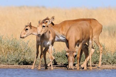 russia steppe: Critically endangered wild Saiga antelopes Saiga tatarica at watering in steppe. Federal nature reserve Mekletinskii, Kalmykia, Russia, August, 2015
