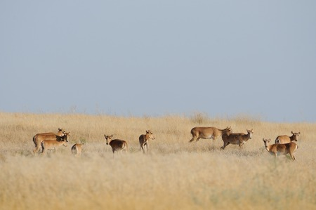 russia steppe: Saiga antelopes Saiga tatarica herd in morning steppe. Federal nature reserve Mekletinskii, Kalmykia, Russia, August, 2015 Stock Photo