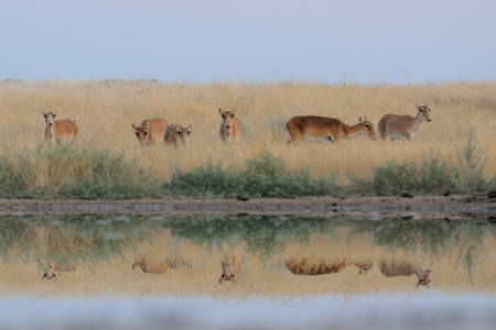 russia steppe: Critically endangered wild Saiga antelopes Saiga tatarica at watering in morning steppe. Federal nature reserve Mekletinskii, Kalmykia, Russia, August, 2015 Stock Photo