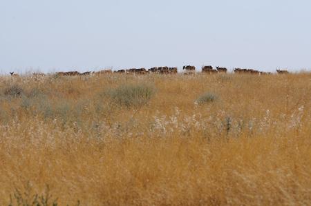 russia steppe: Critically endangered wild Saiga antelopes Saiga tatarica in steppe. Federal nature reserve Mekletinskii, Kalmykia, Russia, August, 2015