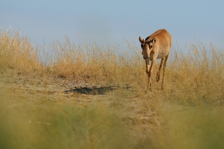 russia steppe: Wild young male Saiga antelope Saiga tatarica in morning steppe. Federal nature reserve Mekletinskii, Kalmykia, Russia, August, 2015 Stock Photo