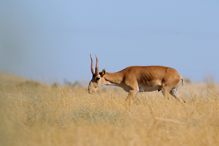 russia steppe: Critically endangered wild Saiga antelope Saiga tatarica, male in steppe. Federal nature reserve Mekletinskii, Kalmykia, Russia, August, 2015 Stock Photo