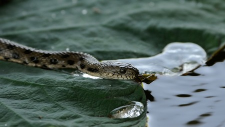 natrix: Dice snake Natrix tessellata on lotus Nelumbo caspica leaf. Volga delta, Russia Stock Photo