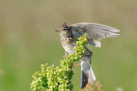 Eurasian Skylark Alauda arvensis flapping wings when perching in the meadow. Moscow region, Russia Banco de Imagens