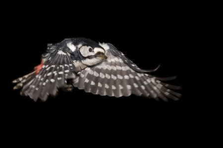 dendrocopos: Great Spotted Woodpecker Dendrocopos major flying against black background Stock Photo