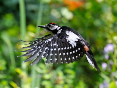 great: Flying Great Spotted Woodpecker Dendrocopos major in the garden. Moscow region, Russia Stock Photo